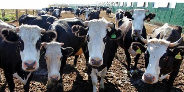 Ярославская порода коров