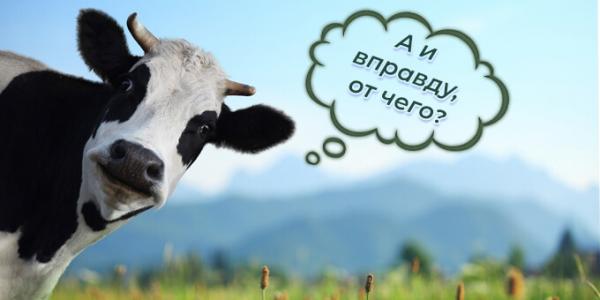 От чего зависит молочная продуктивность коровы