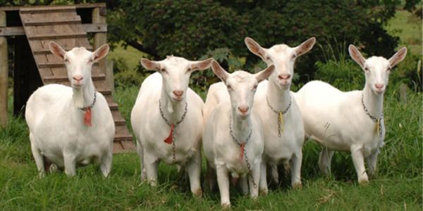 Молочні породи кіз