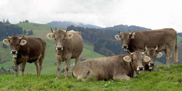 Швицкая порода коров: описание, характеристики,